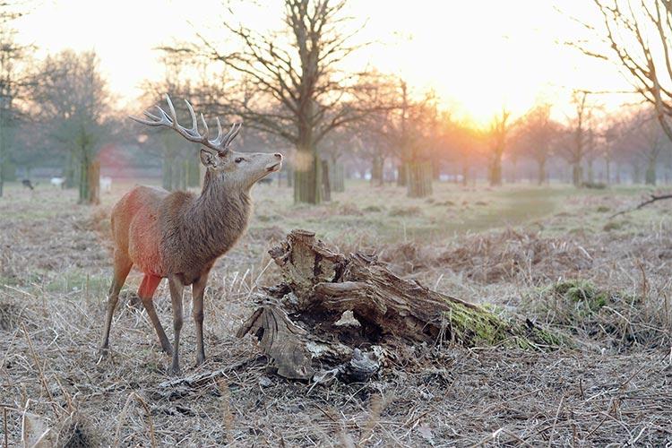 Deer, Tatton Park Knutsford